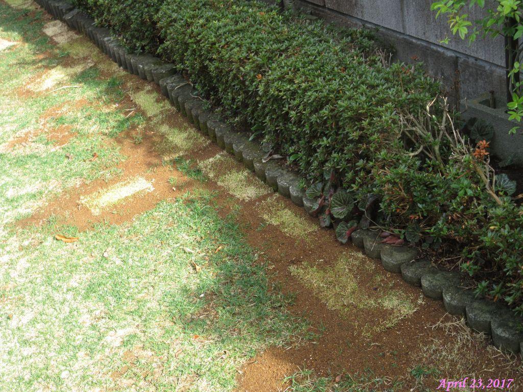 画像11(目土を入れた芝生)