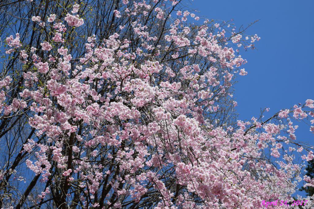 画像7(富士ビューホテルの桜)