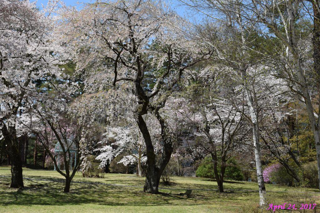 画像8(富士ビューホテルの桜)