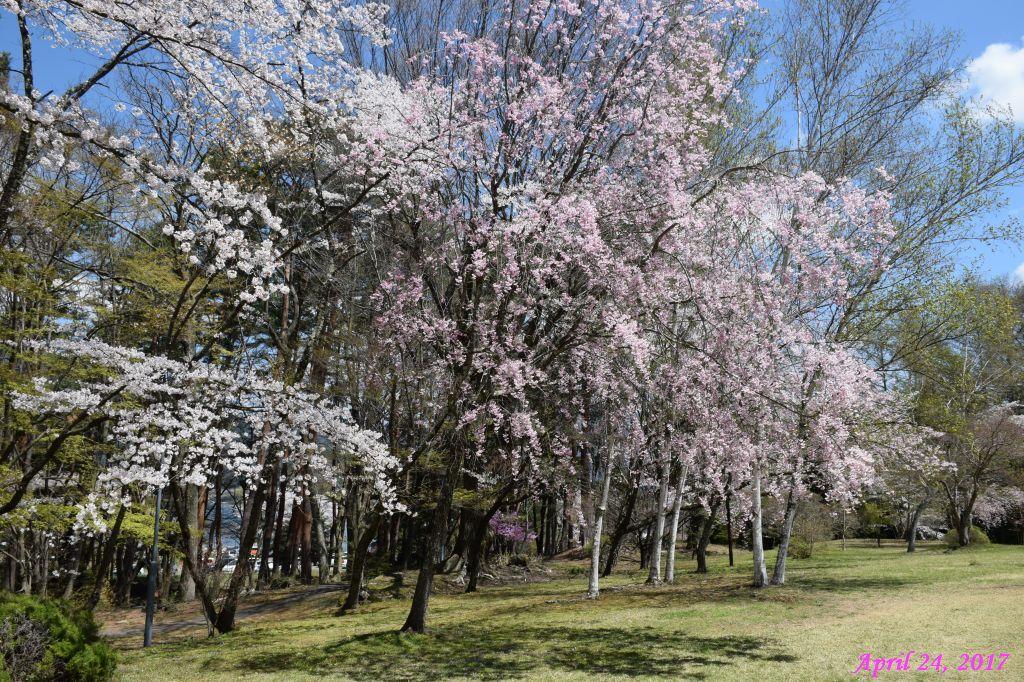 画像9(富士ビューホテルの桜)