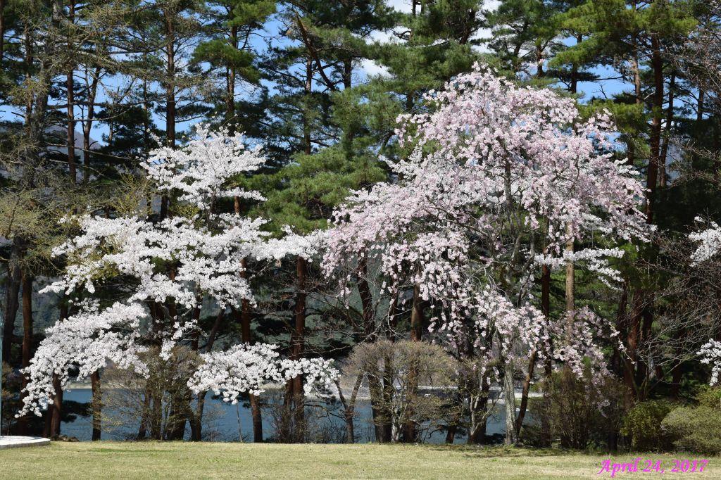 画像10(富士ビューホテルの桜)