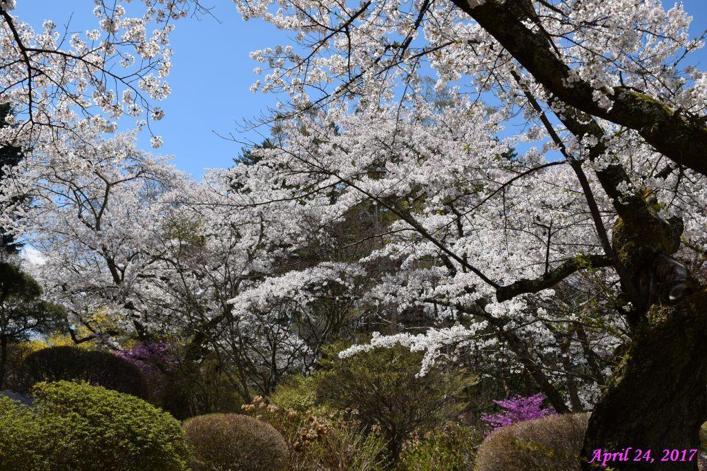画像11(富士ビューホテルの桜)
