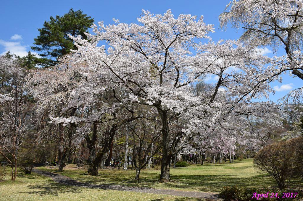 画像12(富士ビューホテルの桜)