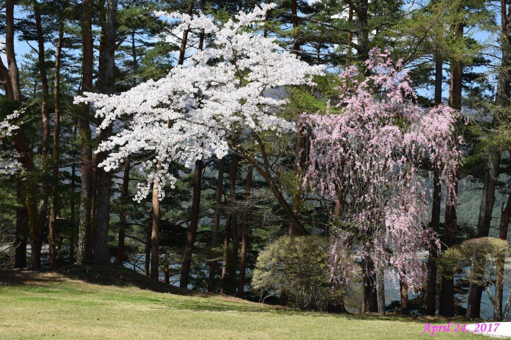 画像13(富士ビューホテルの桜)