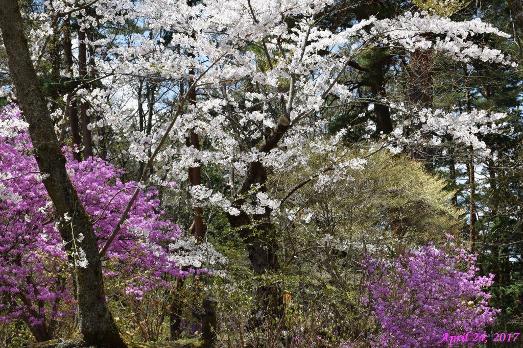 画像14(富士ビューホテルの桜)