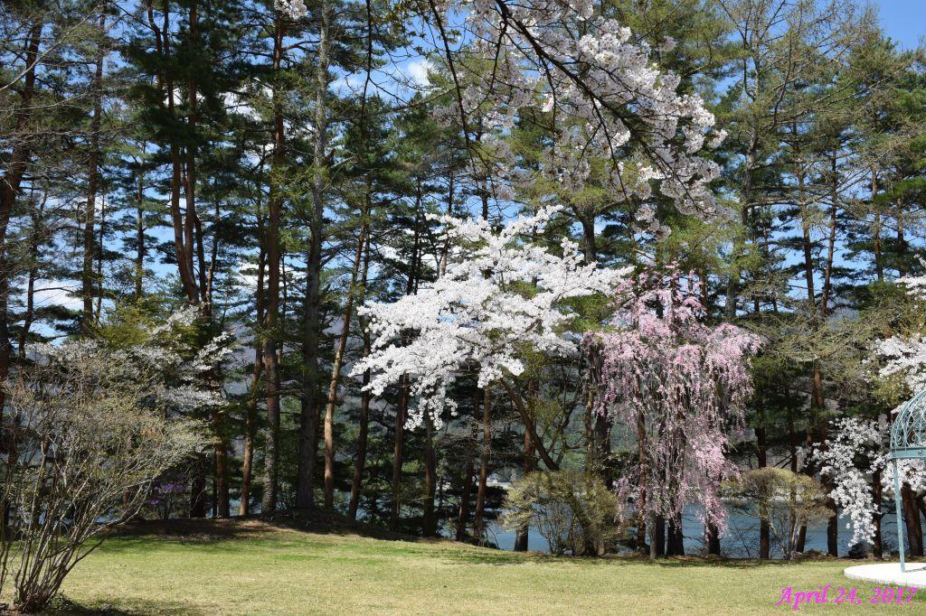 画像15(富士ビューホテルの桜)