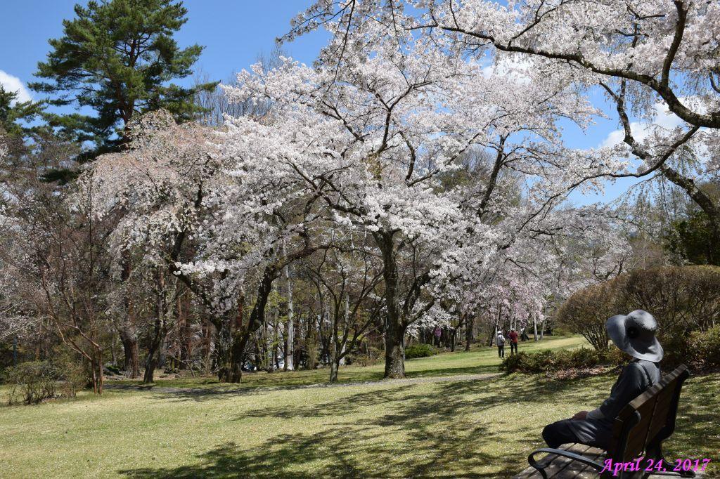 画像16(富士ビューホテルの桜)