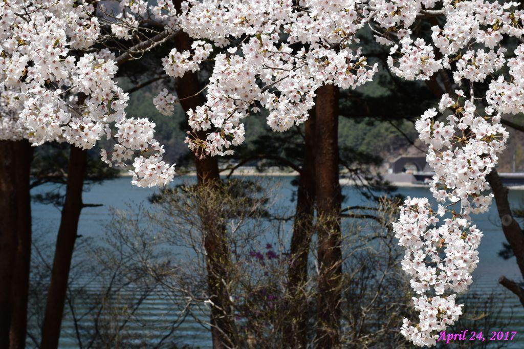 画像17(富士ビューホテルの桜)