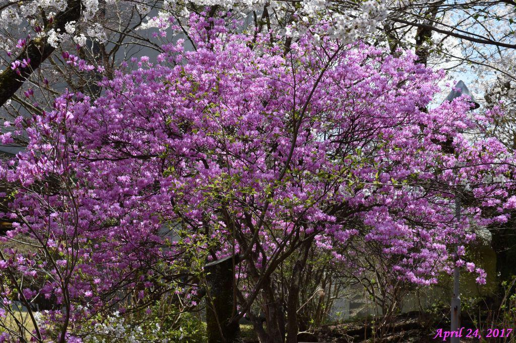 画像20(富士ビューホテルの桜)