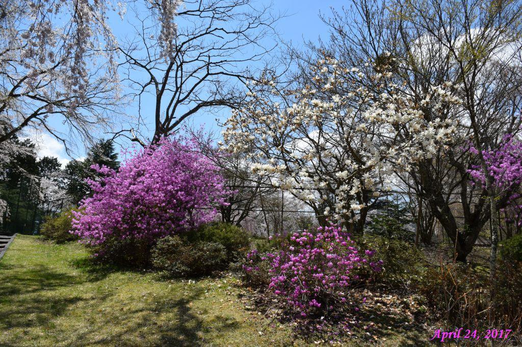 画像21(富士ビューホテルの桜)