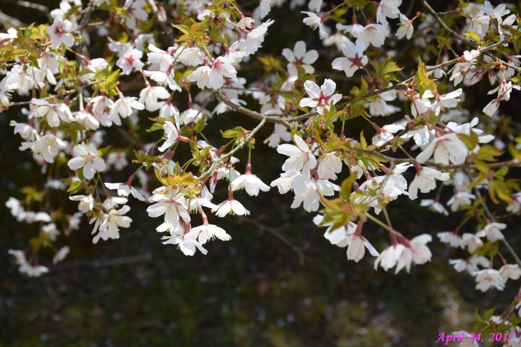 画像23(富士ビューホテルの桜)