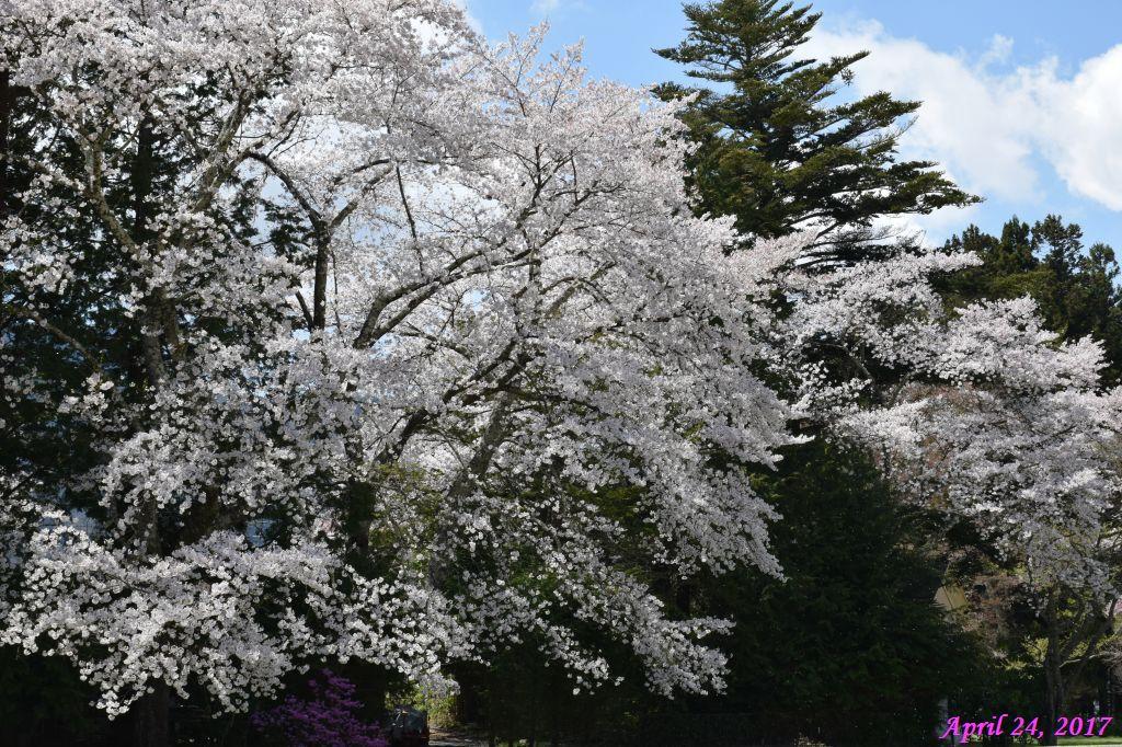 画像25(富士ビューホテルの桜)