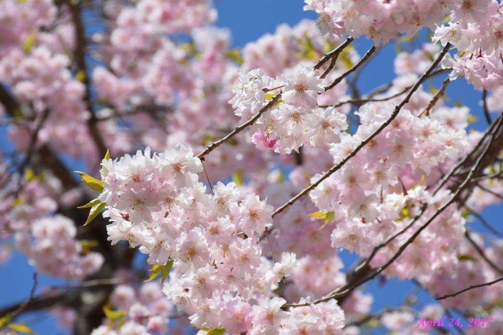 画像28(富士ビューホテルの桜)