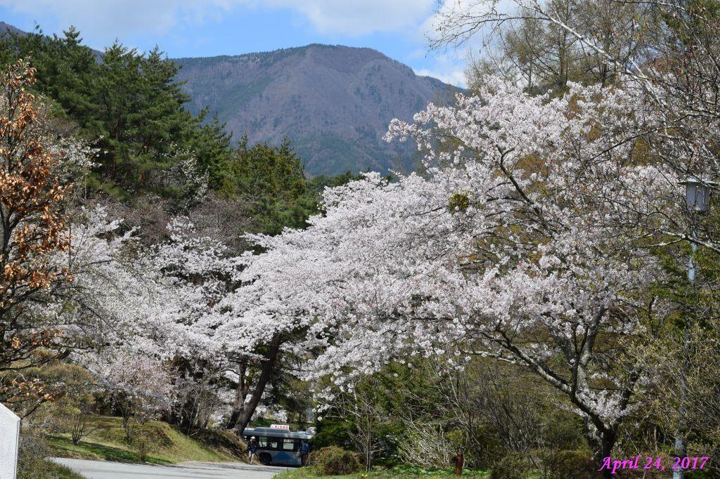 画像29(富士ビューホテルの桜)