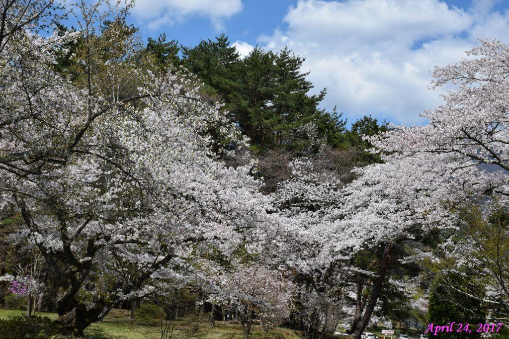 画像30(富士ビューホテルの桜)