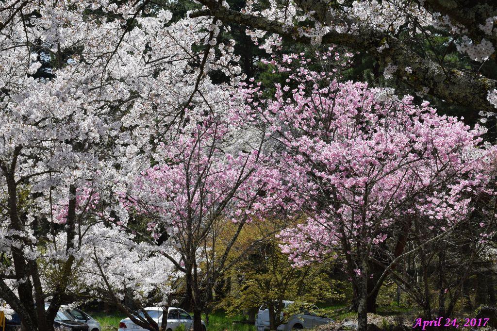 画像34(富士ビューホテルの桜)