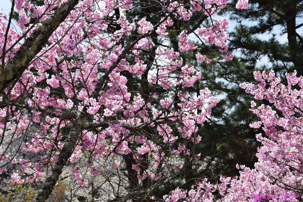 画像35(富士ビューホテルの桜)