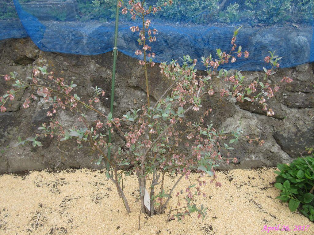 画像11(ブルーベリーの木)