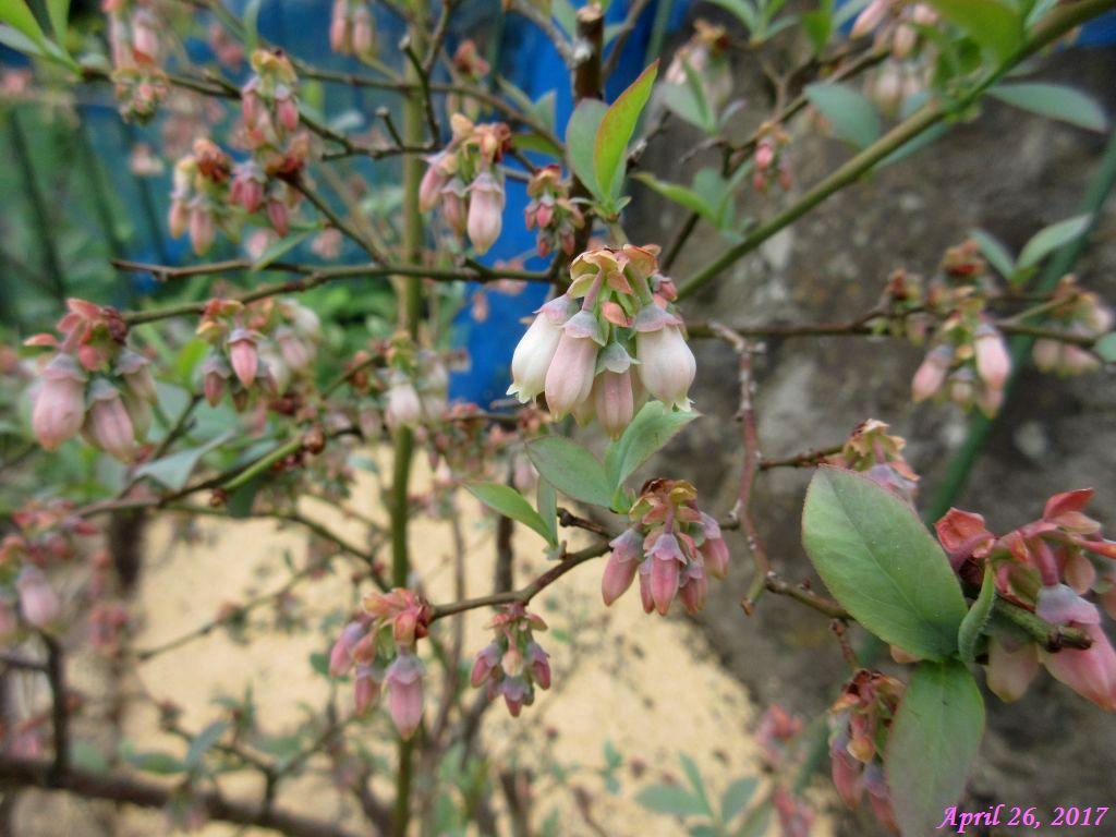 画像14(ブルーベリーの花)