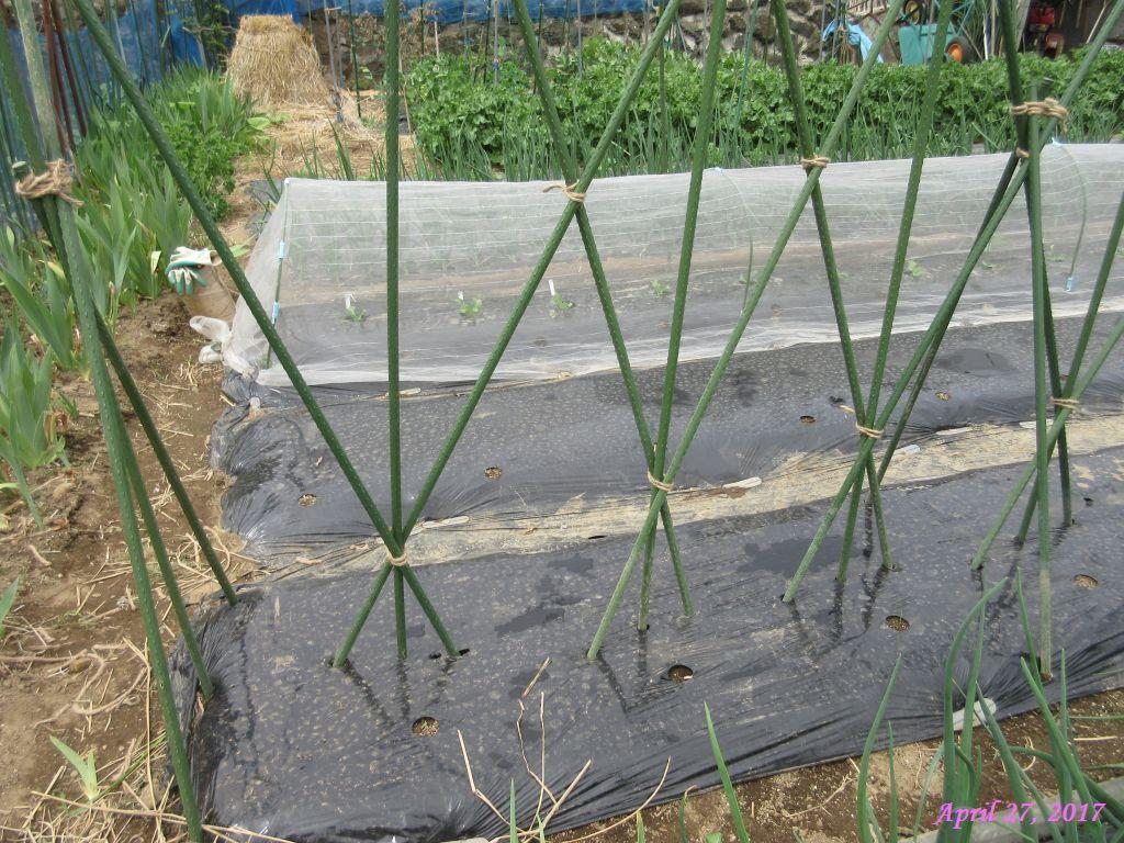 画像4(3本仕立ての茄子の支柱)