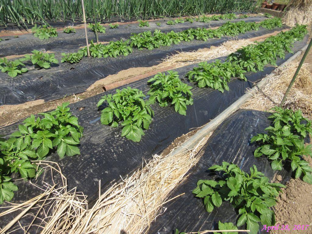 画像2(ジャガイモの芽欠き)