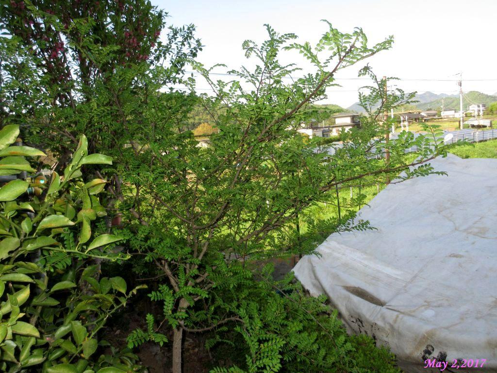 画像13(庭の山椒の木)