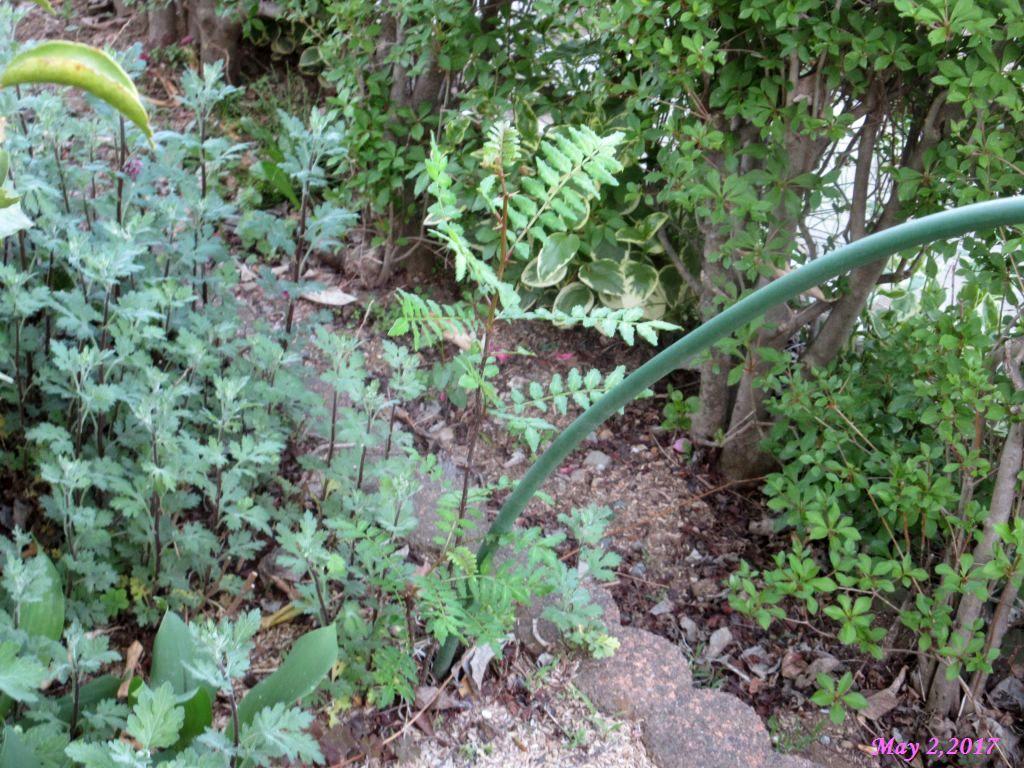 画像15(庭の山椒の木)