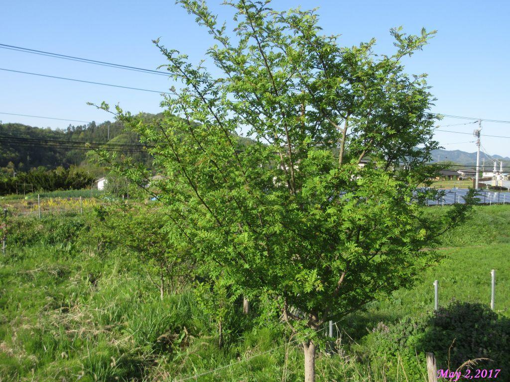 画像16(空き地の山椒の木)