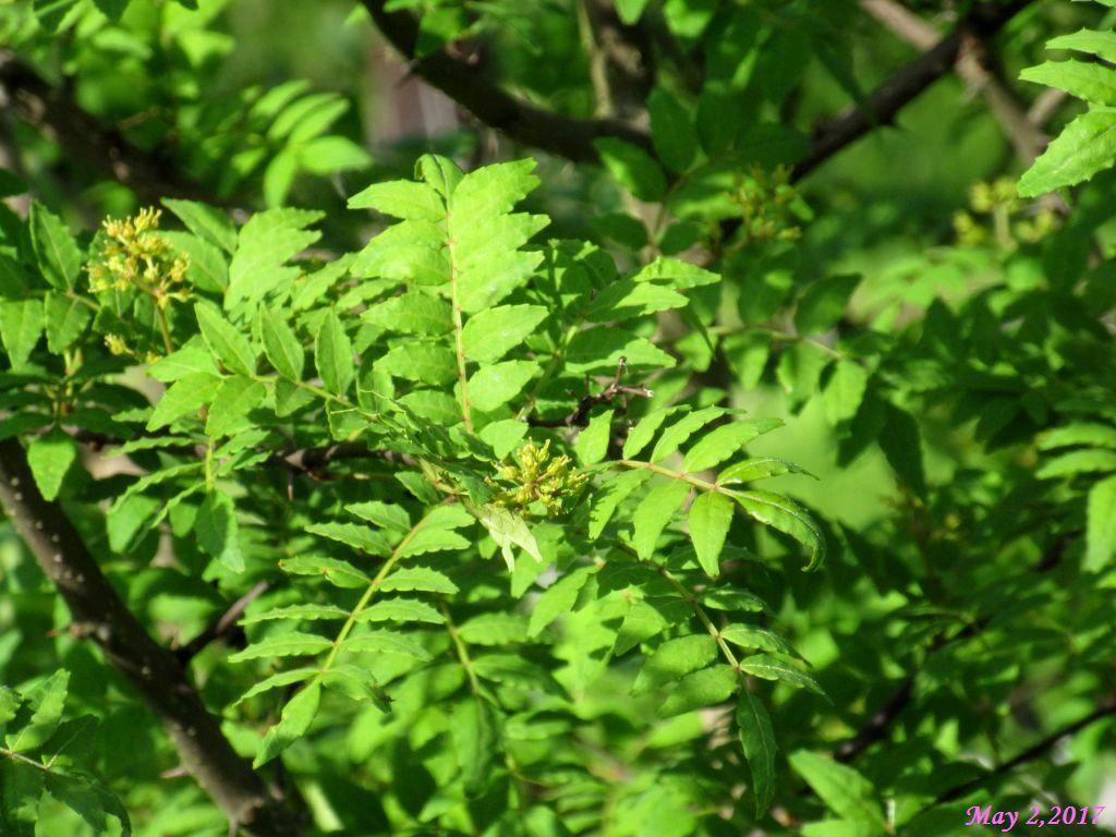 画像17(空き地の山椒の木)