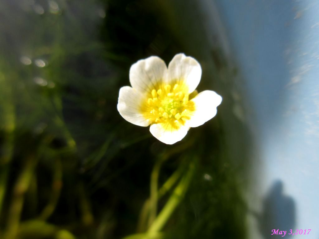 画像1(水草の花)