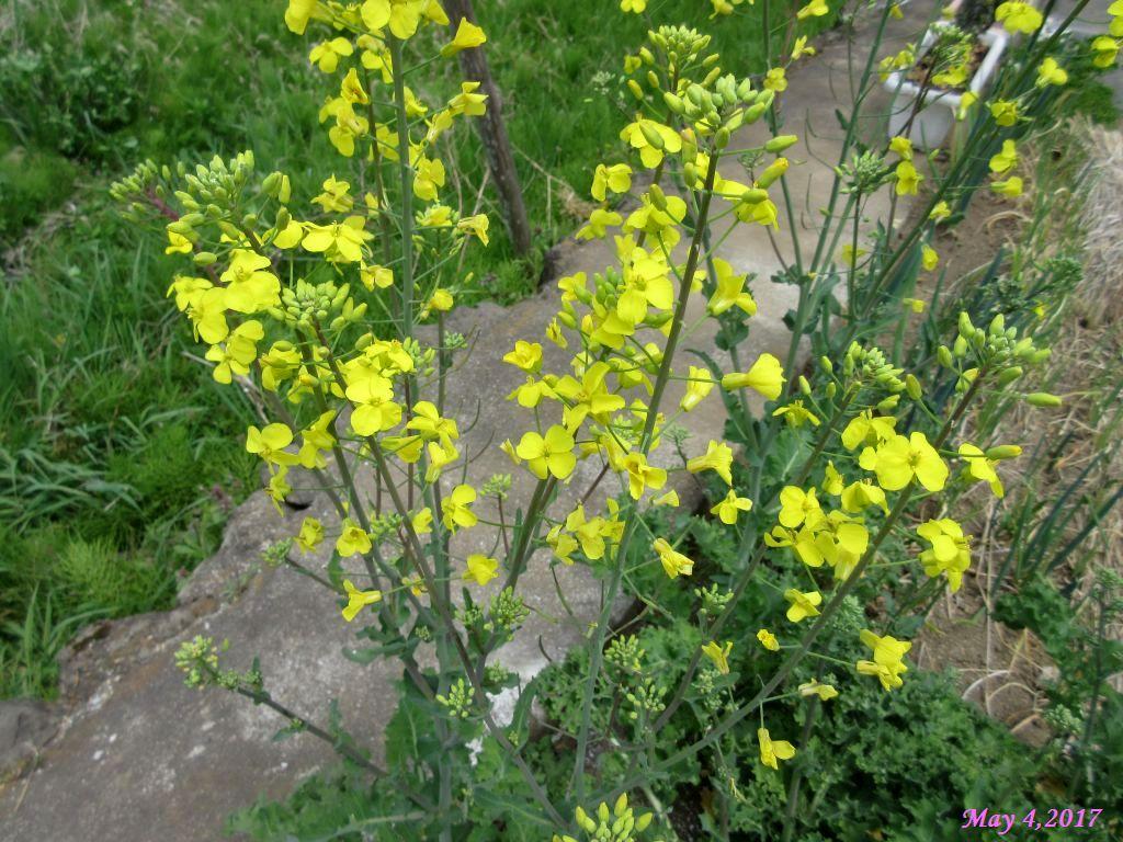 画像6(採種用の冬菜)
