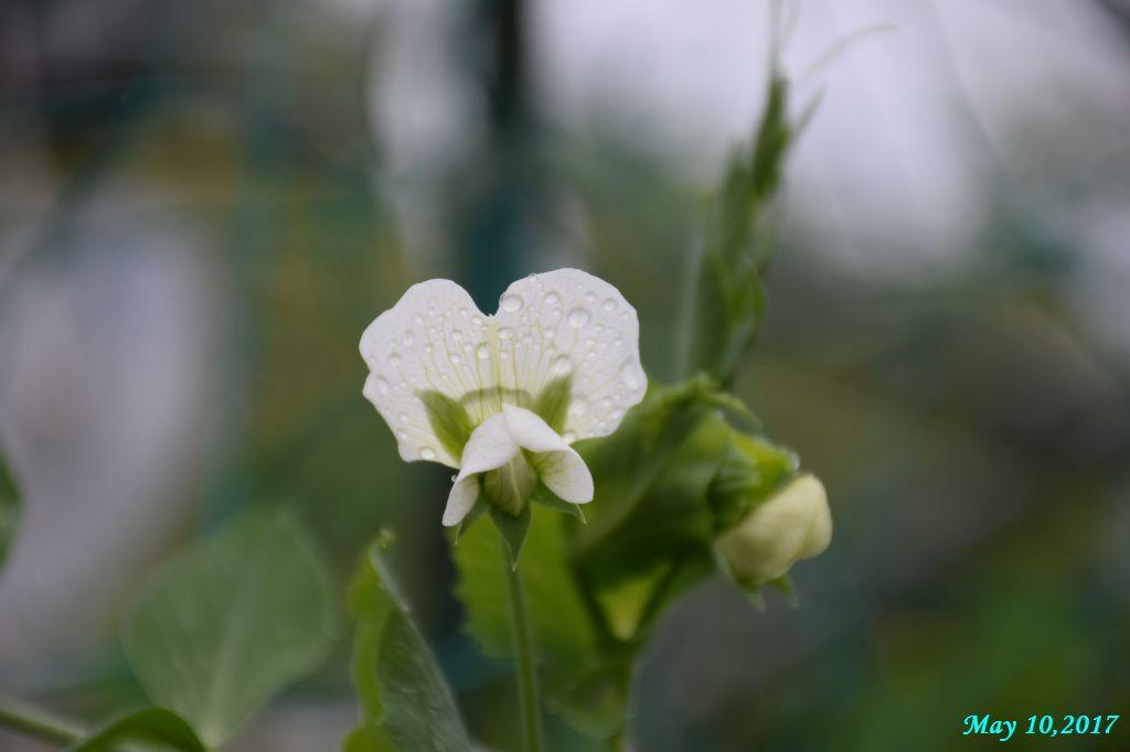 画像2(スナップエンドウの花)