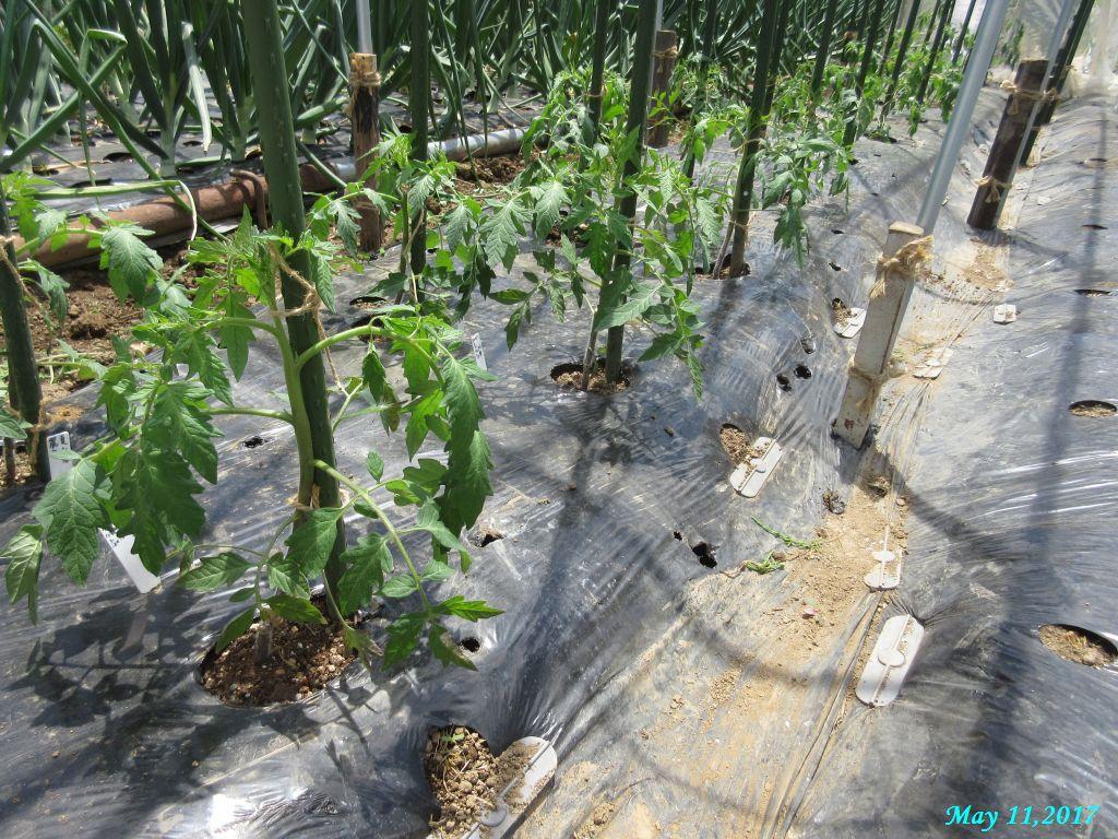 画像12(トマトの畝)