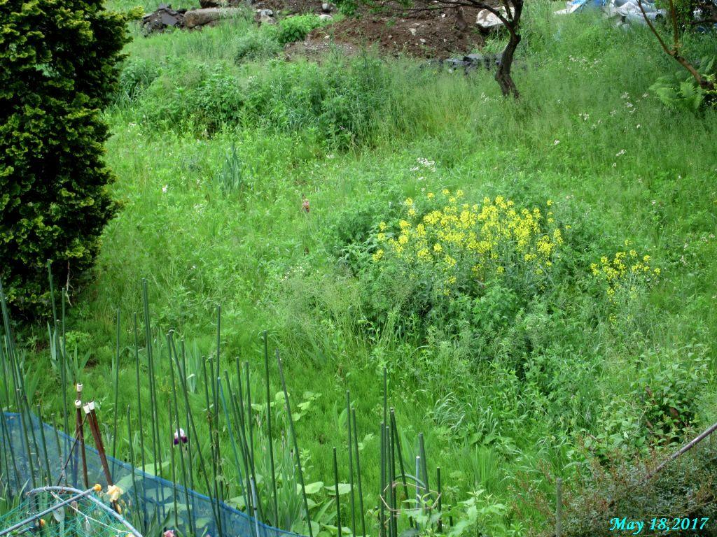 画像8(空き地の菜の花)