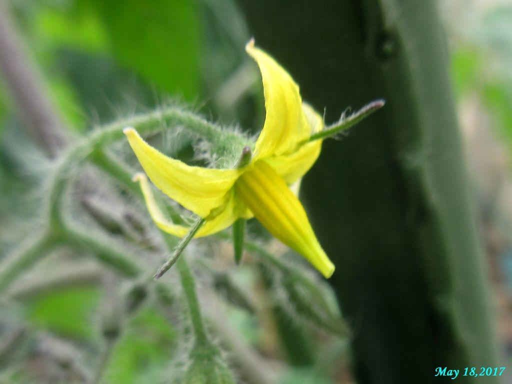 画像10(イエローアイコの一番花)