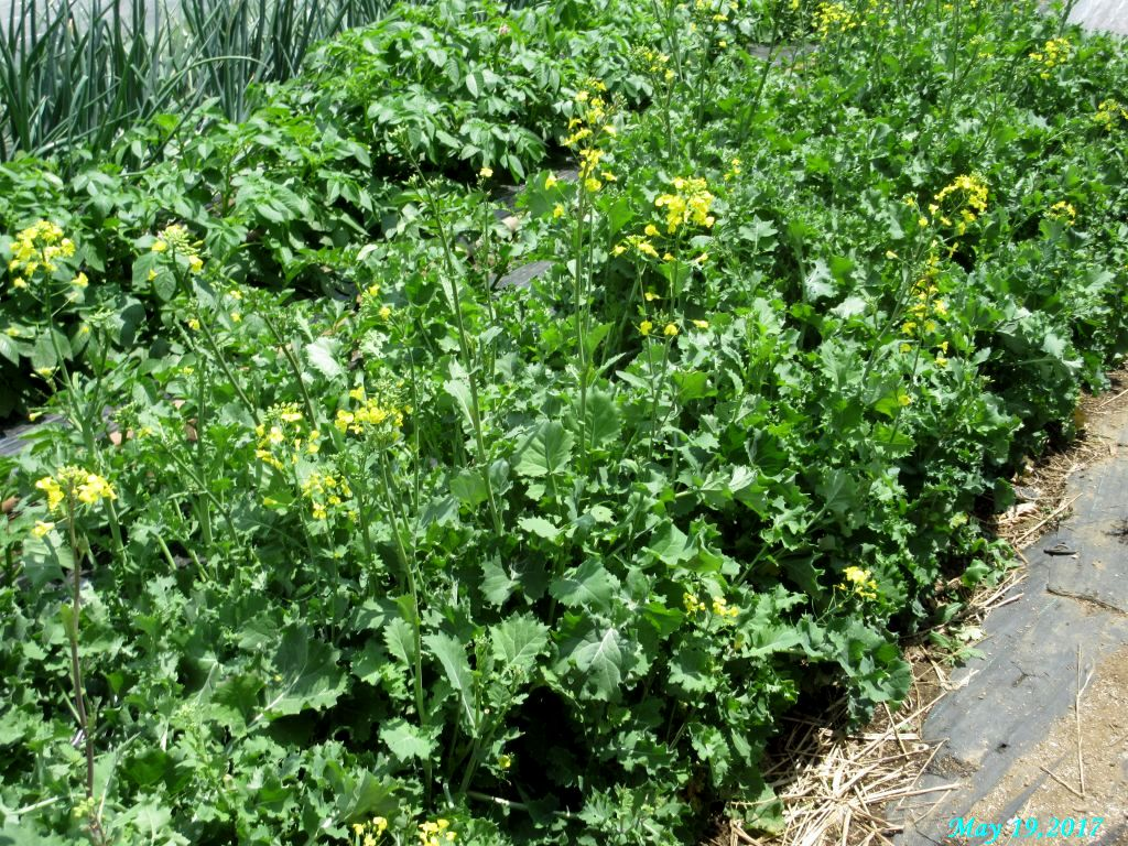 画像9(冬菜の畝)