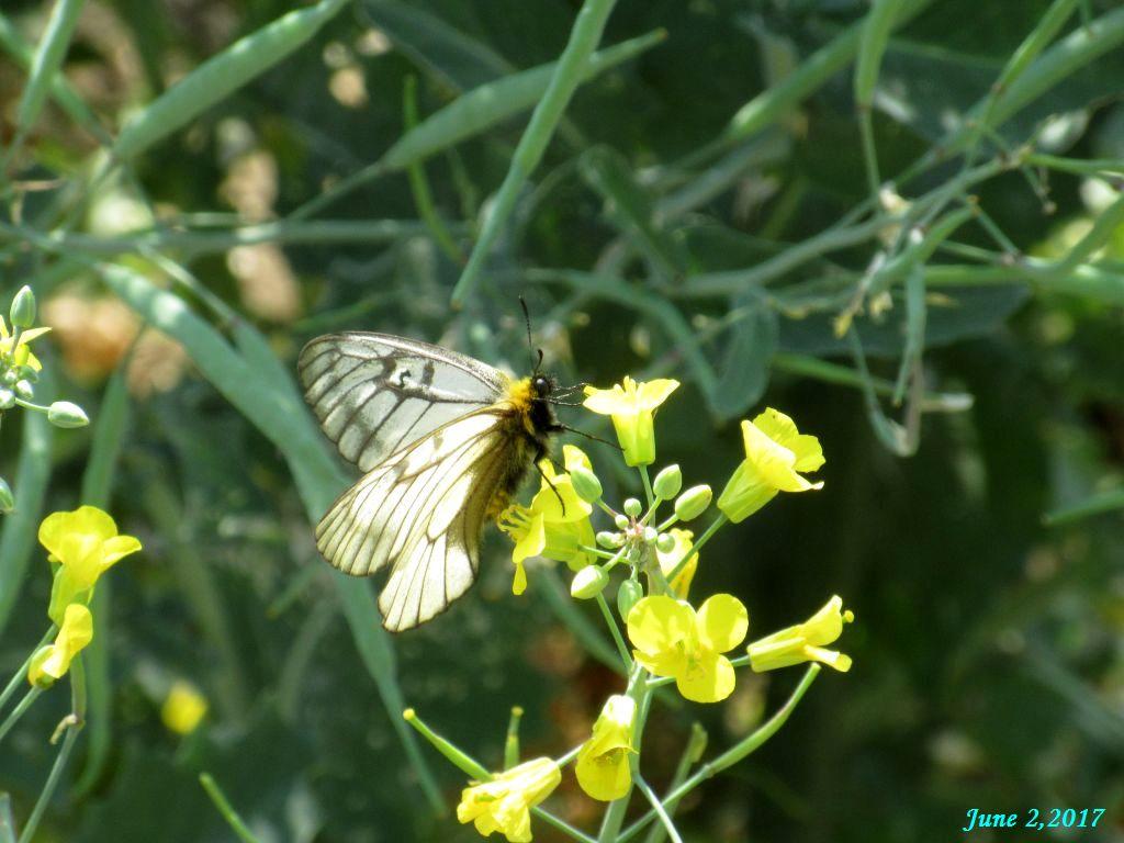 画像9(冬菜の花にやって来たチョウ)