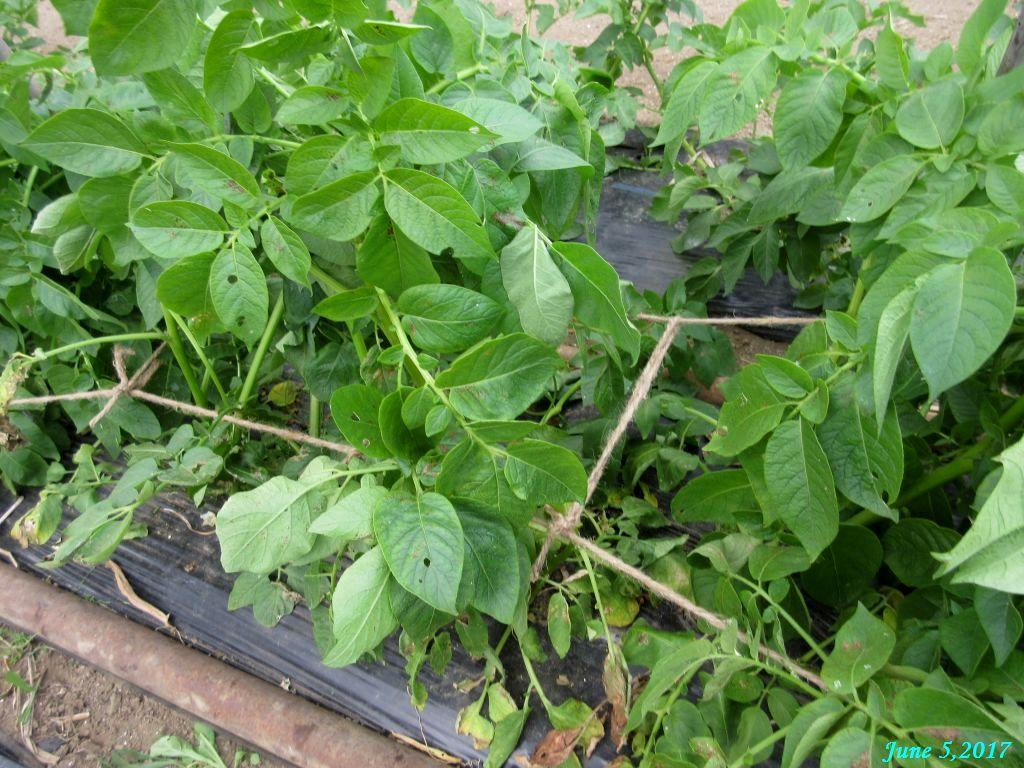 画像5(ジャガイモの茎起こし)