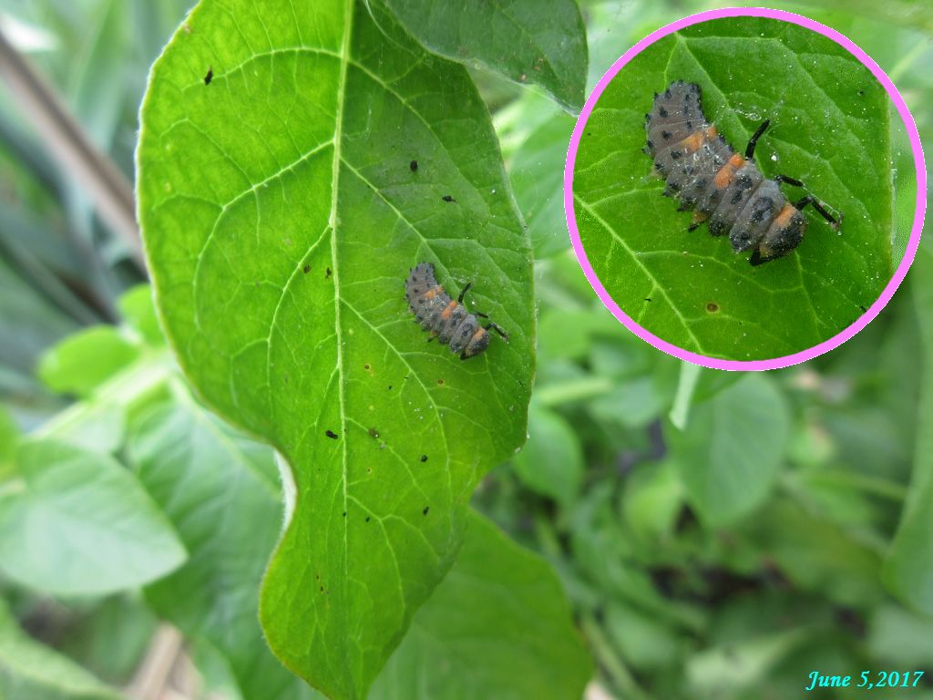 画像6(ニジュウヤホシテントウの幼虫)