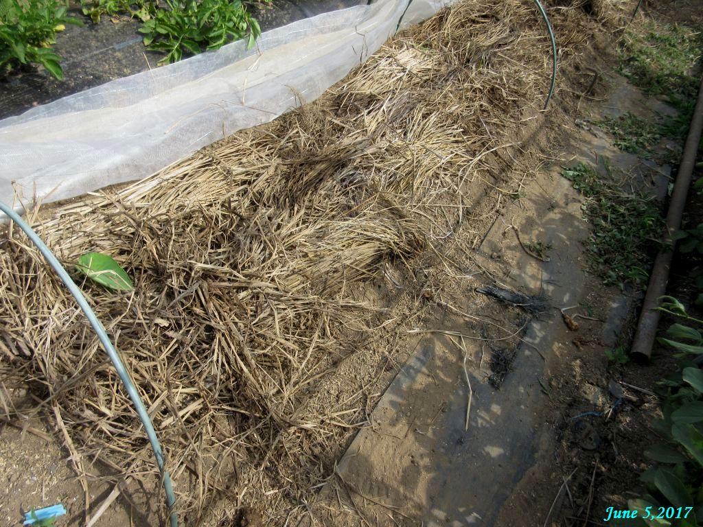 画像12(里芋の敷き藁)