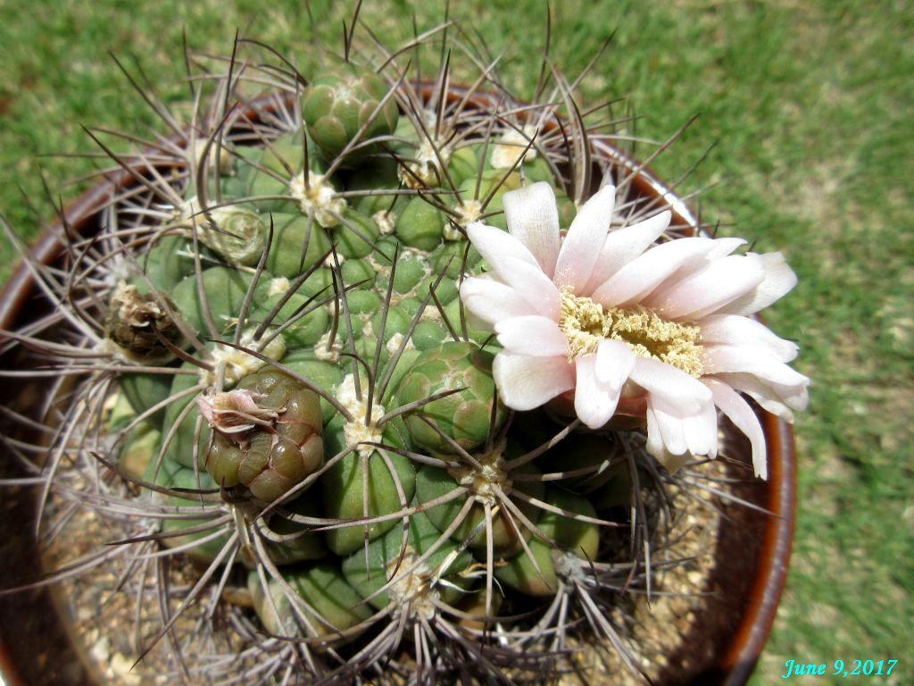 画像3(サボテンの花)