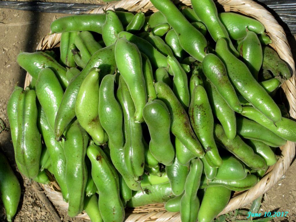 画像4(そら豆の収穫)