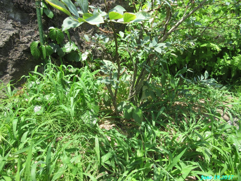 画像7(ブルベリーの周りの草)