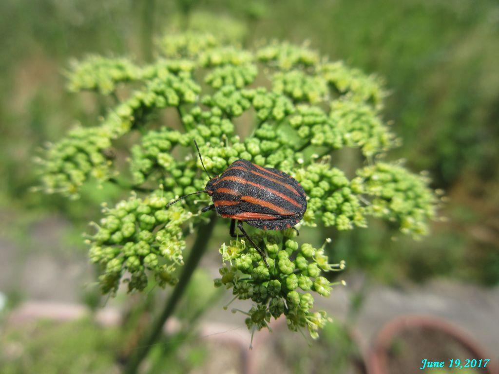 画像11(パセリの花にいた虫)