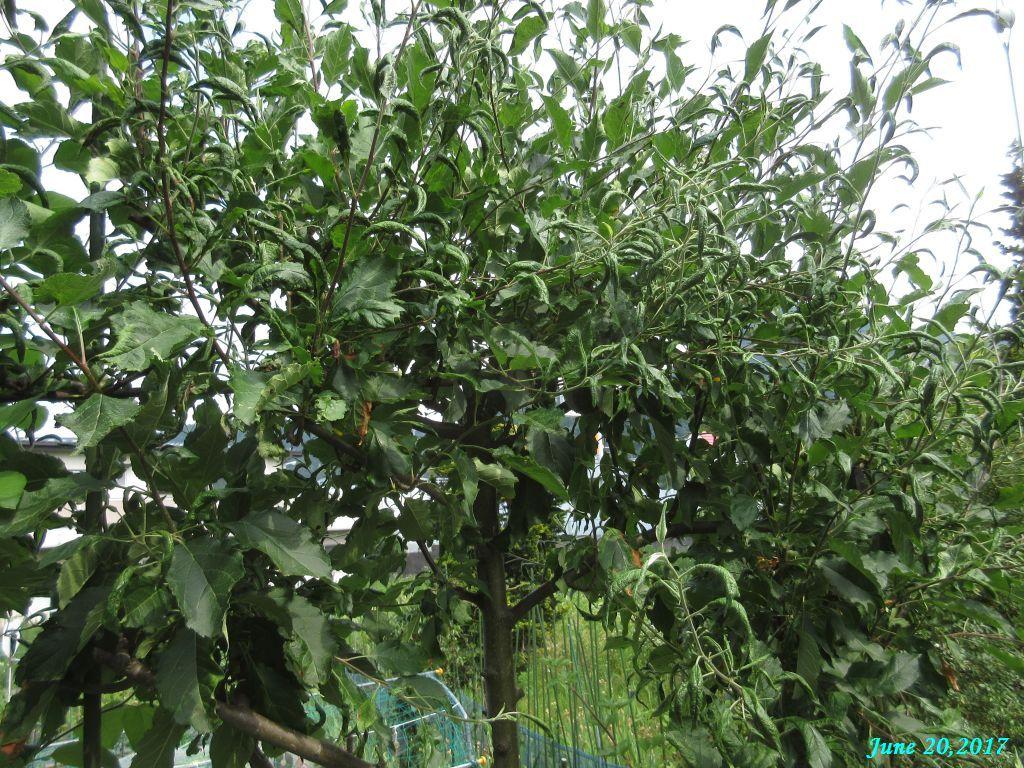 画像10(姫リンゴの葉)