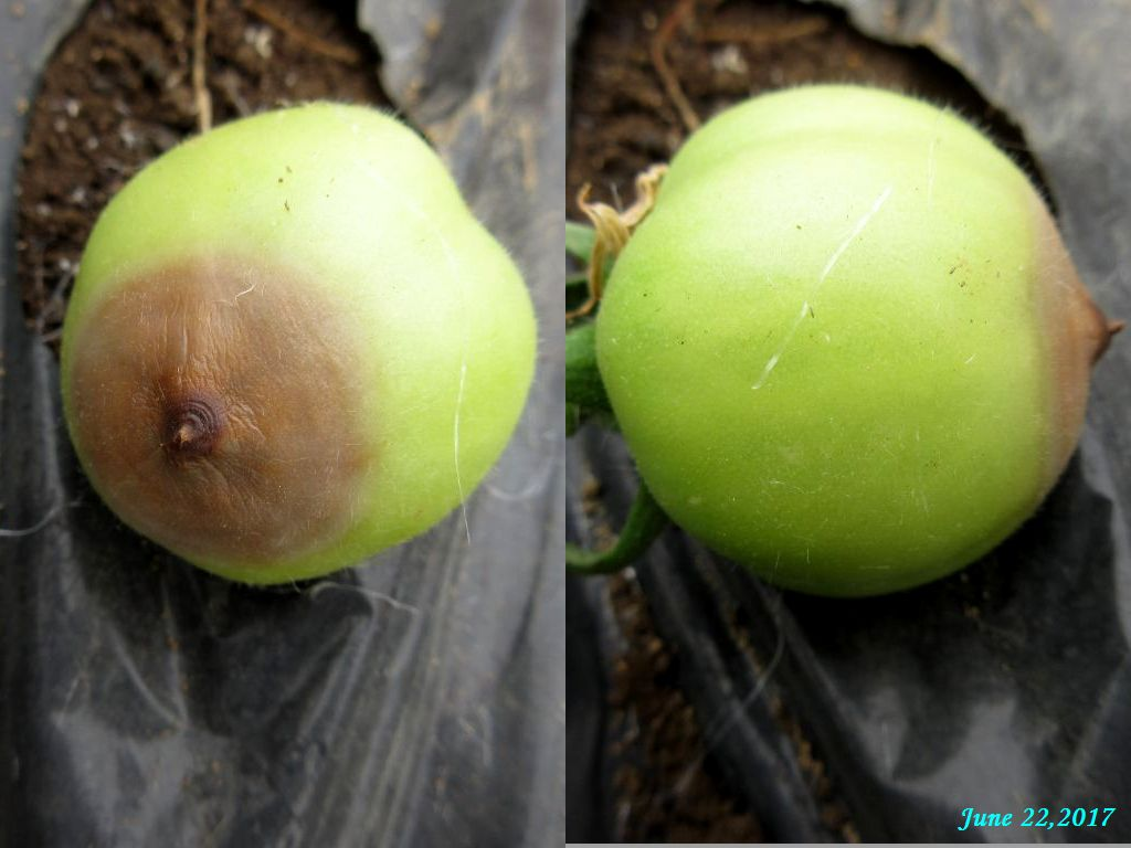 画像15(果尻が茶色くなったトマト)