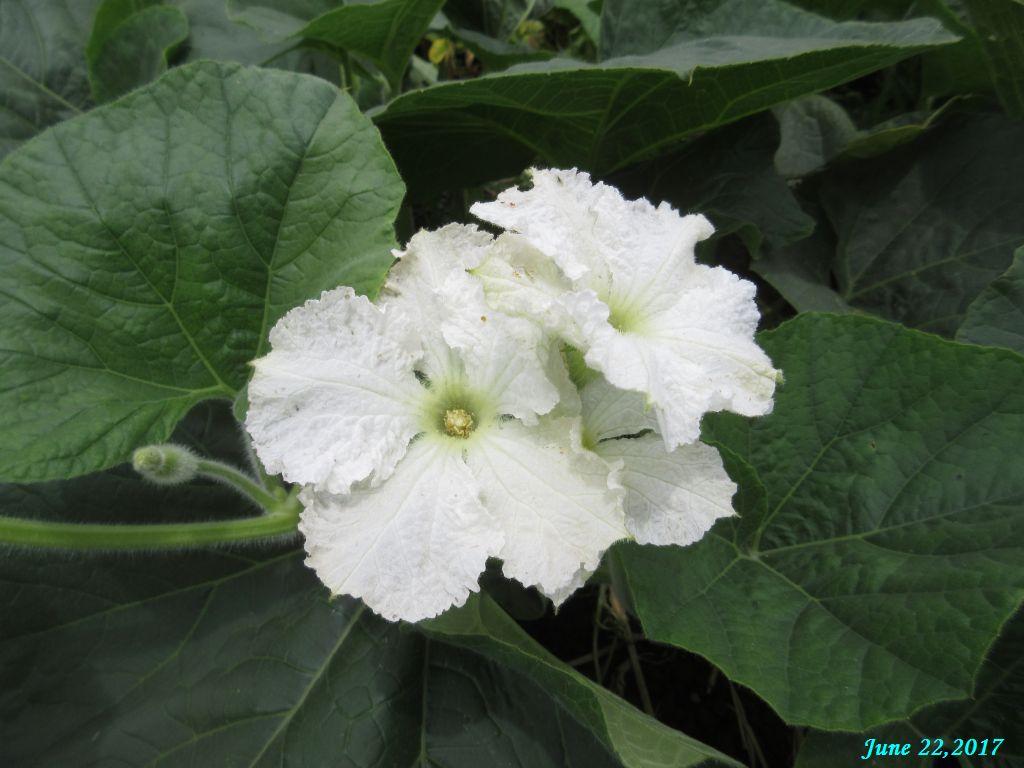 画像17(夕顔の花)