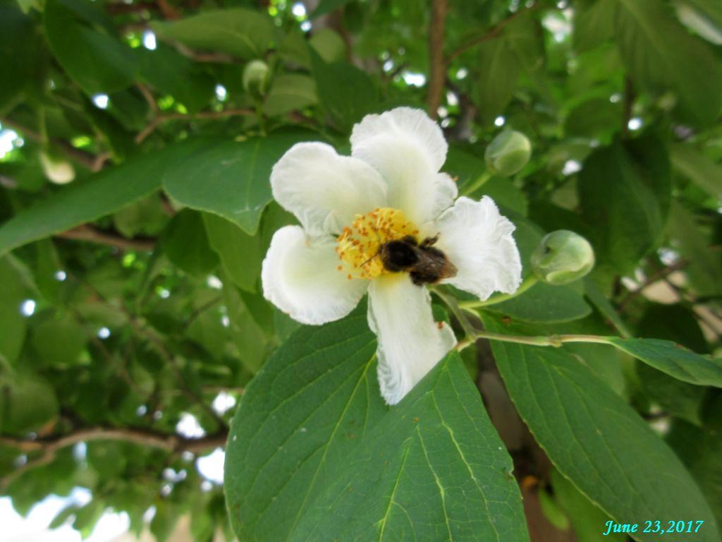 画像4(夏椿と蜂)