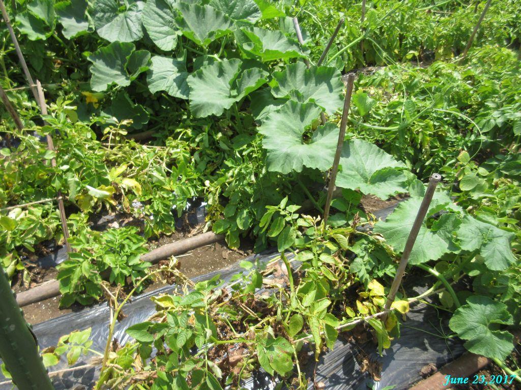 画像6(ジャガイモの畝)