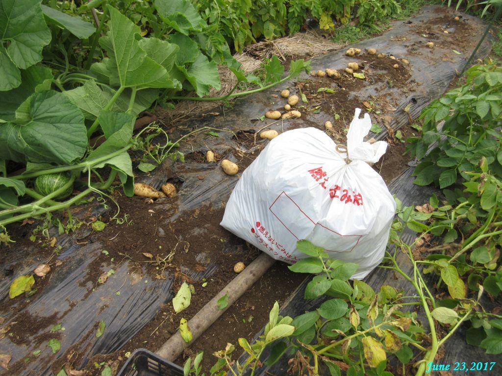 画像7(ジャガイモの掘り出しと茎の処理)